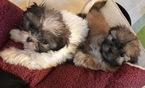 Shih Tzu Puppy For Sale in ODD, WV, USA