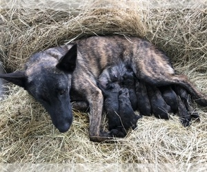 Dutch Shepherd Dog Puppy for Sale in ALVARADO, Texas USA