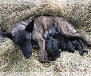 Medium Dutch Shepherd Dog