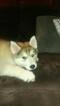 Puppy 0 Alusky
