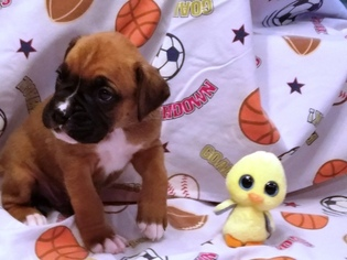 Boxer Puppy For Sale in SUCCASUNNA, NJ, USA