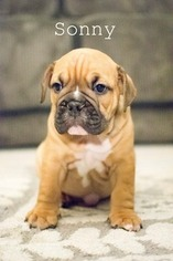 Olde English Bulldogge Puppy For Sale in CALDWELL, ID, USA