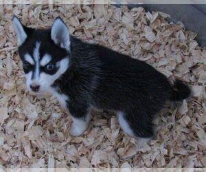 Pomsky Dog for Adoption in SEBRING, Florida USA