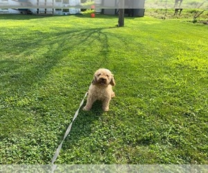 Poodle (Miniature) Dog for Adoption in LANCASTER, Pennsylvania USA