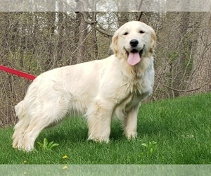 Mother of the Golden Retriever puppies born on 06/06/2021