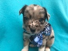 Australian Shepherd Puppy For Sale in QUARRYVILLE, PA,