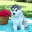 Alaskan Malamute Puppy For Sale in GAP, PA