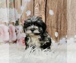 Puppy 6 Schnoodle (Miniature)