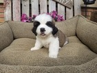Saint Bernard Puppy For Sale in DUNDEE, OH