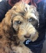 Labradoodle Puppy For Sale in RIPON, CA, USA