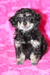 Poodle (Toy) Puppy For Sale in GRAY, Louisiana,