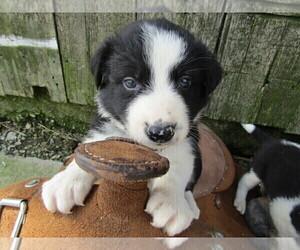 Border Collie Puppy for sale in HUDSON, MI, USA