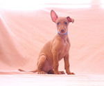 Puppy 10 Pharaoh Hound