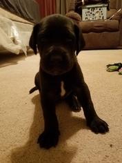 Great Dane Puppy For Sale in KINGMAN, AZ, USA