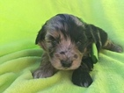 Aussie-Poo Puppy For Sale in EAST EARL, PA