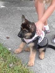German Shepherd Dog Puppies and Dogs for Sale in Tampa, FL, USA