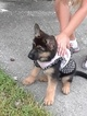 German Shepherd Dog Puppy For Sale in ORLANDO, FL, USA
