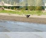 Small #47 Labrador Retriever
