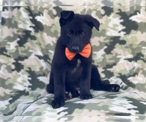 German Shepherd Dog Puppy for sale in LAKELAND, FL, USA