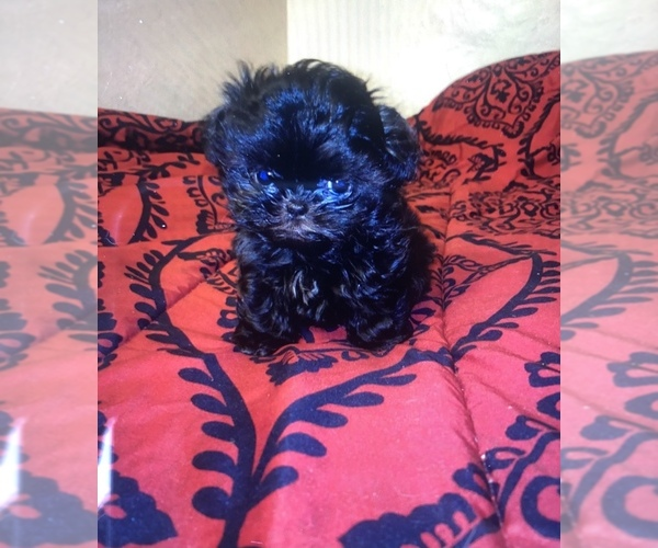 Medium Photo #1 Shih Tzu Puppy For Sale in POPLAR, CA, USA