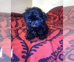 Small Photo #1 Shih Tzu Puppy For Sale in POPLAR, CA, USA