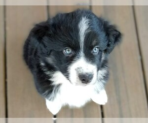 Australian Shepherd Puppy for sale in HOLLYWOOD, FL, USA