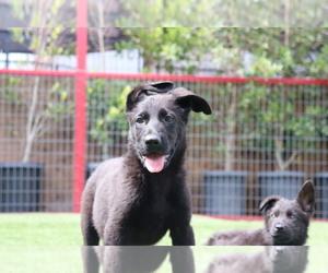 German Shepherd Dog Puppy for Sale in LA TUNA CANYON, California USA
