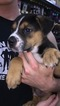 Rottweiler-Unknown Mix Puppy For Sale in KANSAS CITY, MO
