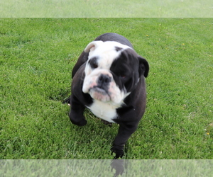 English Bulldog Puppy for sale in SHILOH, OH, USA