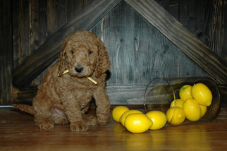 F1b Goldendoodle Puppies