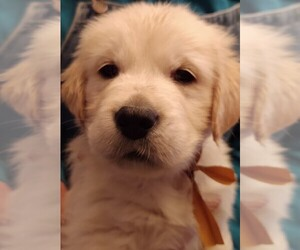 Golden Retriever Puppy for sale in HARRISON, MI, USA