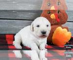 Puppy 4 English Cream Golden Retriever-Poodle (Standard) Mix