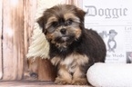 Casey Fantastic Female Shorkie Puppy