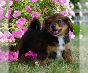 Medium Bernese Mountain Dog-Poodle (Toy) Mix