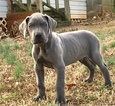 Great Dane Puppy For Sale in RICHBURG, SC