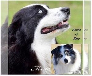 Father of the Australian Shepherd puppies born on 08/24/2020