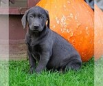 Small Photo #2 Labrador Retriever Puppy For Sale in FREDERICKSBG, OH, USA