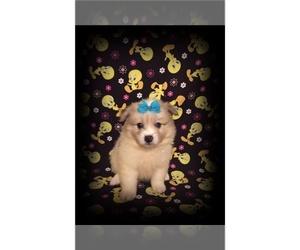 American Eskimo Dog Puppy for sale in CLARKSVILLE, TN, USA
