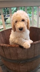 Labradoodle Puppy For Sale near 77493, Katy, TX, USA