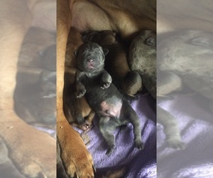 Cane Corso Puppy for sale in SHERMANS DALE, PA, USA