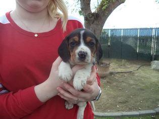 View Ad Beagle Puppy For Sale Near California Fresno Usa Adn 71748