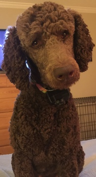 Medium Photo #14 Poodle (Standard) Puppy For Sale in TRYON, NC, USA