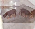 Small #92 Rottweiler