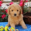 Golden Retriever-Poodle (Miniature) Mix Puppy For Sale in GAP, PA, USA