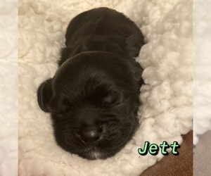 Cocker Spaniel Puppy for sale in BHAVEN, MS, USA