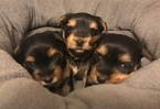 Yorkshire Terrier Puppy For Sale in NORTH WILKESBORO, NC,