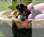 Small #20 Rottweiler