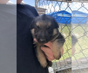 German Shepherd Dog Puppy for sale in VEVAY, IN, USA