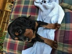 Gordon Setter Puppy For Sale in ADELL, WI,