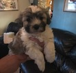 Havanese Puppy For Sale in MILFORD, OH